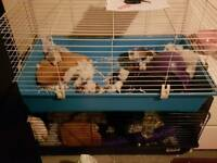 Two male rats, large cage plus accesories