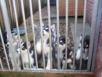 Siberian Husky Puppy's for Sale..