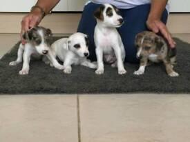Jack Russell cross border Terrier puppies