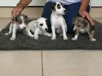 Jack Russell cross border Terrier puppies