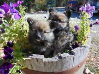 Papillon x Pomeranian puppies