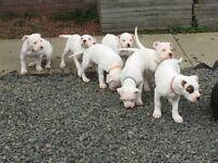 Beautiful American Bulldog puppies for sale