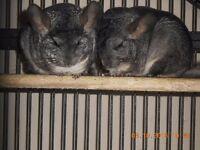 two female chinchillas for sale