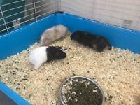 3 Guinea pigs £30