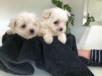 Maltese Female Puppies in Dundee (New Photos)
