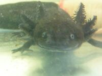 Axolotls, Wild type, two available, male and female, both fully grown
