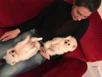 Pomeranian xxs mini puppys 2 female 1 boy