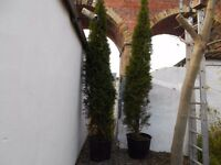 large potted conifer trees