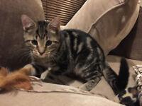 Bengal Cross Kitten For Sale - Beautiful Markings