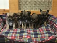 Pedigree Chihuahua Pups For Sale