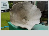 LARGE PIECE OF WHITE CORAL IN TRUMPET SHAPE