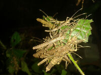 Eurycantha calcarata (New Guinea spiny stick insect) nymphs