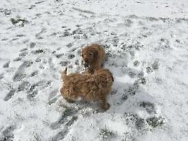 Cockapoo Puppies