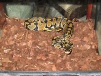 Royal python cb 2014 very tame.