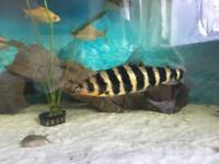 Tropical Fish Yellow Banded/Pangasius Shark