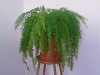 Boston fern [Nephrolepis exaltata] Excellent mature specimen.