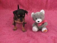 Three russian toy terrier girls pupies