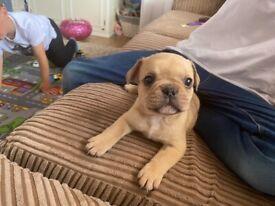 REDUCED PRICE! Stunning French Bulldog Puppies