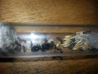 Messor Barbarus (Harvester Ant) Fertile Queen + Brood + Workers (78#)