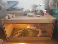 Bearded dragons for sale