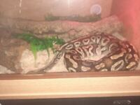 4 snakes for sale