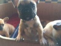 Male French Bulldog Pup