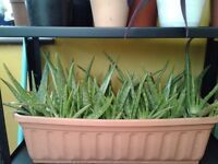 ALOE VERA PLANTS. GOING FAST!!! Your own Pharmacy in one fabulous plant. £5 to £15. NO TEXTS