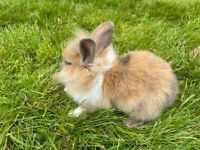 Lionhead Rabbits - Beautiful Lionheads looking forever home - 2 Female