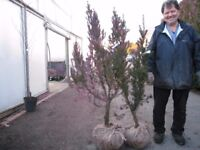 Yew trees 4ft to 5ft dug from open ground with good root ball