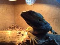 Bearded dragon and 4ft viv