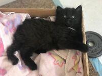 Lovely male kitten for sale