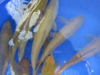 Jumbo chargoi and other Japanese koi carp for sale