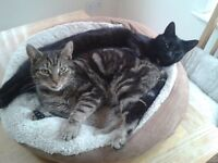 TWO CATS FOR SALE BLACK CAT AND TABBY CAT FOR REHOMING/SALE 3 YEARS OLD HEALTHY AND INNOCULATED