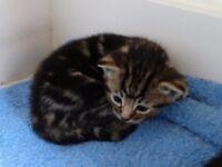 Kitten, beautiful with stunning markings tabby