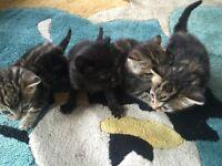 Lovely Tabby kittens for sale