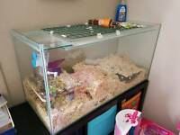 Gerbils x2 with large home and accessories