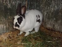 24 Rescue Rabbits all in need of a good home. Varying breeds and colours.. 3rd post out of 3.