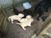 Labrador puppies Black & Golden
