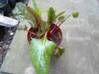 Swiss chard plant in a 13 cm pot