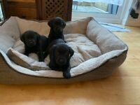 LABRADOR PUPPIES looking for a home!