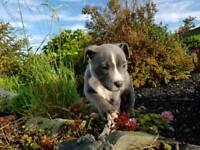 Staffordshire bull terrier pups; blue white; KC Reg