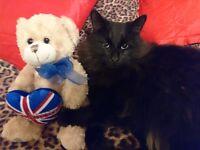 Missing black male cat