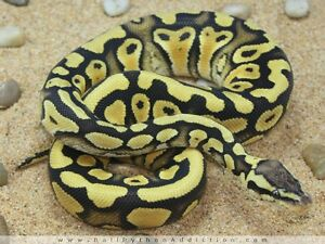 "12 ball pythons "" morphs""  rainbow boa"