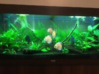 Juwel Rio 240 Planted Discus Tank Worth Over £1300 Tropical Aquarium - fish can be sold separate