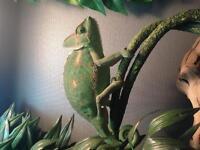 Chameleon and enclosure