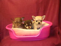 Teacup Chihuahua male puppies