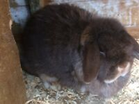 Mini lop bunny rabbit