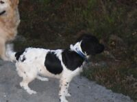 Our gorgeous Springer Izzy is having babies,