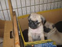 pedigree PUG puppies from Monday ready for there forever home