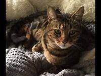 Missing Tabby Boy Cat